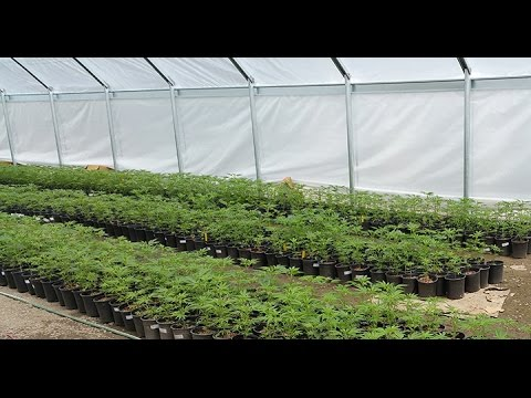 Cannabis Cultivation Techniques and Best Practices 2