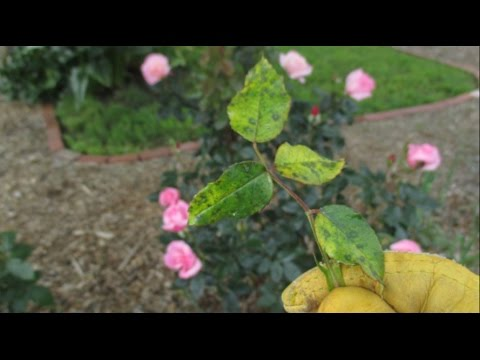 What Should You Do If You See This On Your Rose Bushes? 2