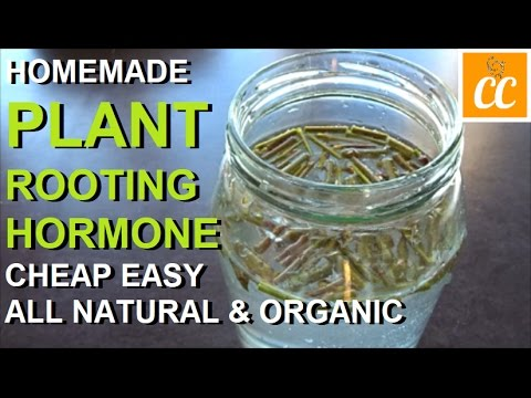 Make Your Own Plant Rooting Hormone 🌿 All Natural 2 Ways! 2