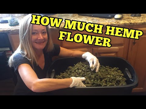 HOW MUCH HEMP FLOWER FROM 500 CBD PLANTS -A quick look at my dried and cured industrial hemp harvest 2