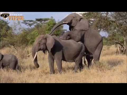 HUGE PENIS Fails to Penetrate VAGINA Though Wagging All About SEX WILDLIFE Elephant Intercourse 2
